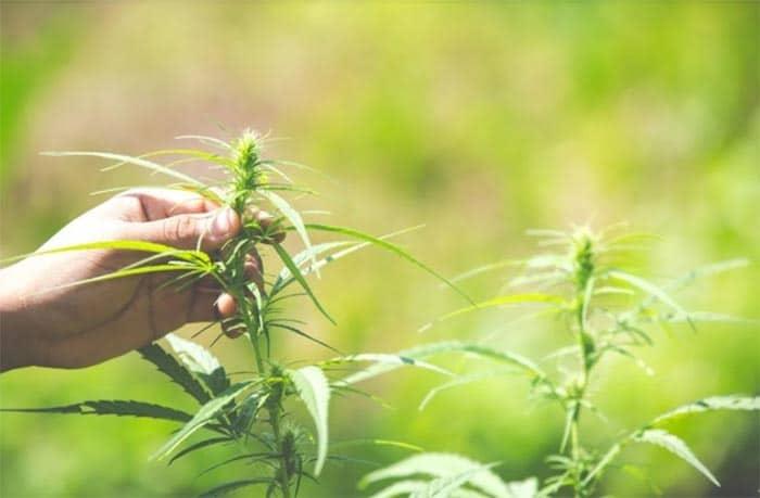 účinky marihuany